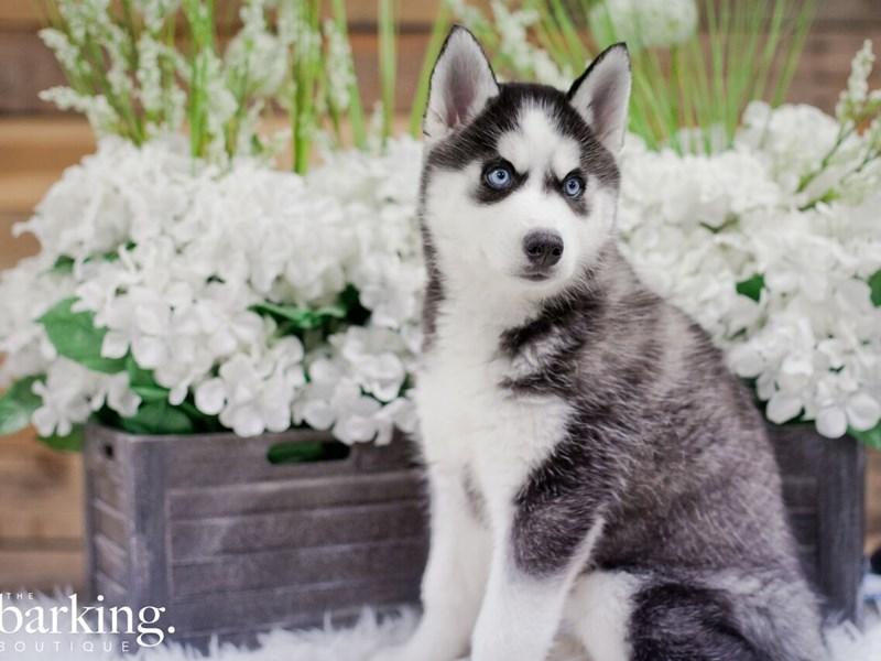 Siberian Husky – Pompeii