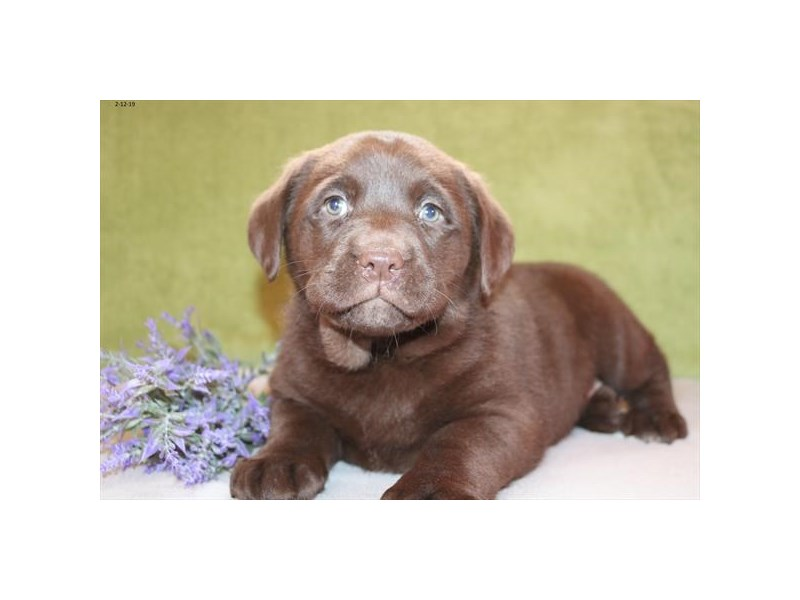 Labrador Retriever-Female-Chocolate-2289189-The Barking Boutique