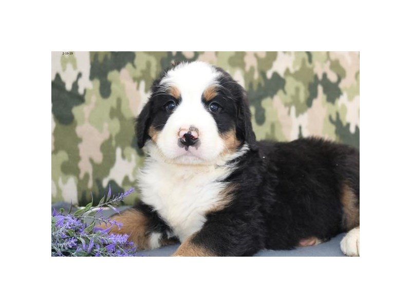 Bernese Mountain Dog – Bruce