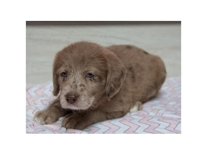 Labradoodle-Female-Chocolate Merle-2294625-The Barking Boutique