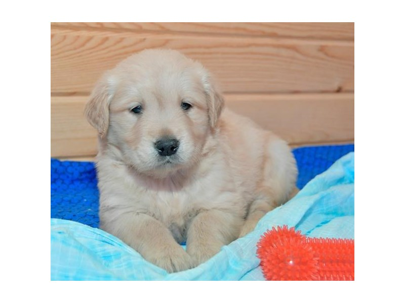 Golden Retriever-Male-Golden-2294627-The Barking Boutique