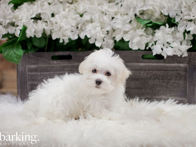 Maltese-Male-White-2300213-The Barking Boutique