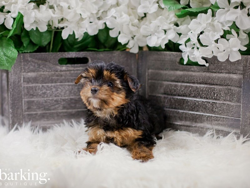 Yorkshire Terrier-Female-Black and tan-2300216-The Barking Boutique