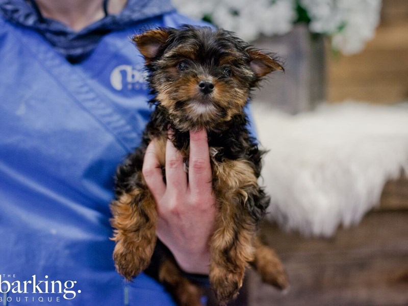 Yorkshire Terrier-Female-Black and tan-2300217-The Barking Boutique