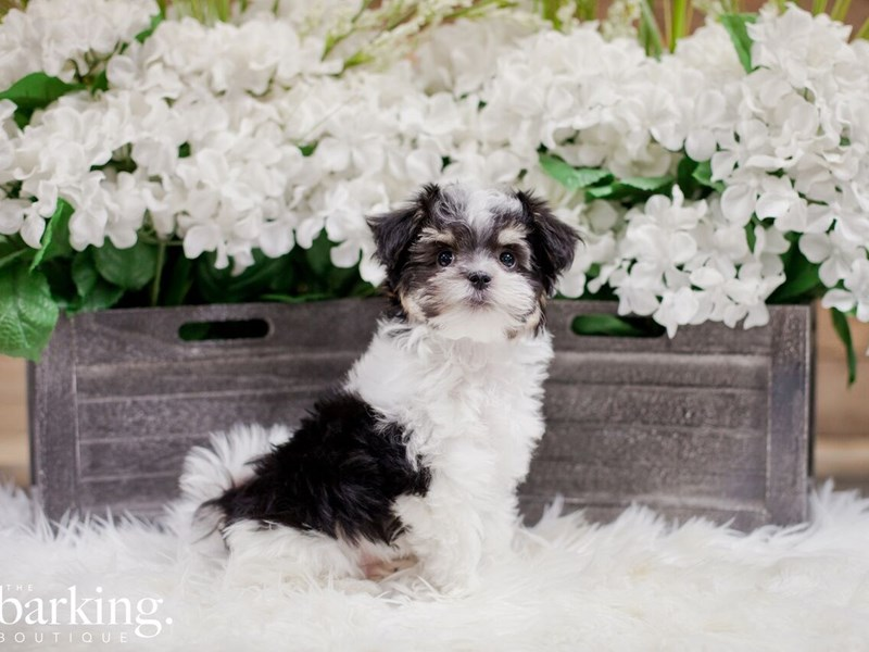 Havanese Maltese-Male-Black and white-2300210-The Barking Boutique