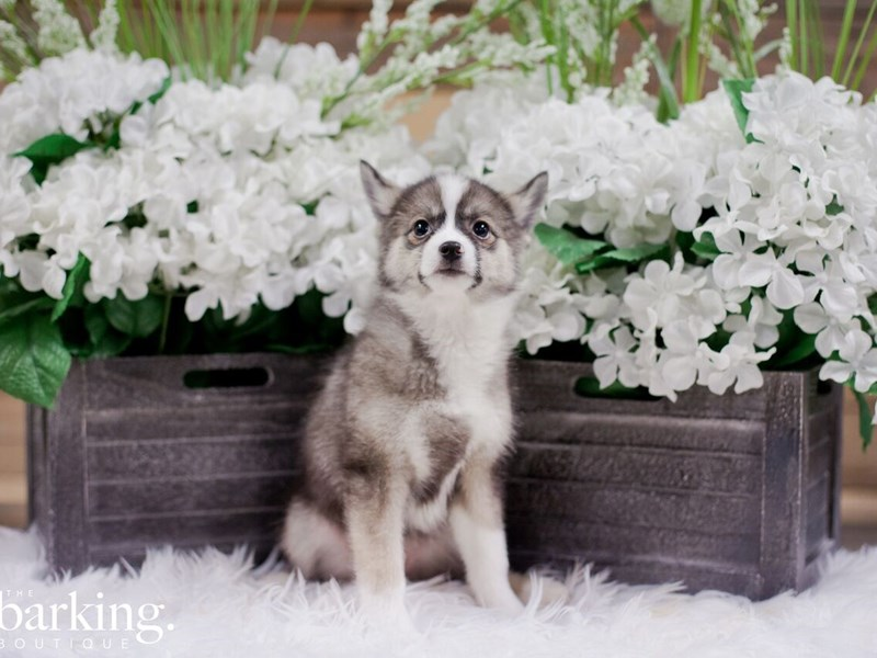 Pomsky-Female-Sable-2300204-The Barking Boutique