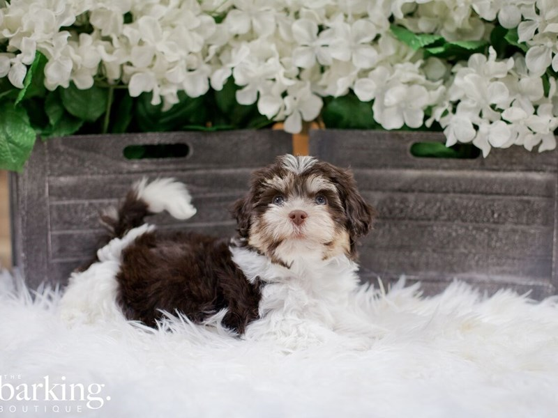 Havanese-Female-Choc and white-2300209-The Barking Boutique