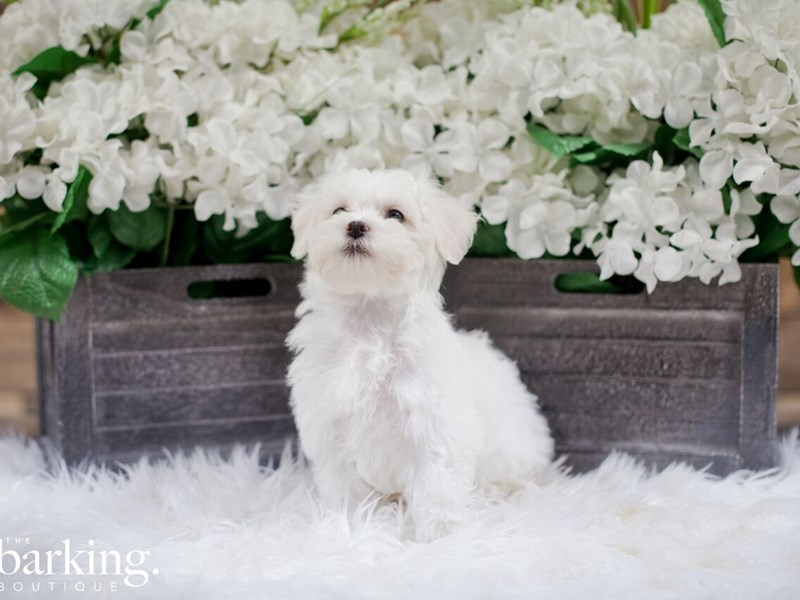 Bichon Frise / Maltese-Male-White-2300225-The Barking Boutique