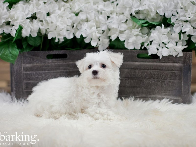 Bichon Frise / Maltese-Female-White-2300224-The Barking Boutique