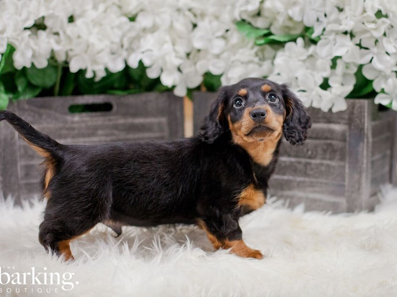 Dachshund-Male-Black and Tan-2300219-The Barking Boutique