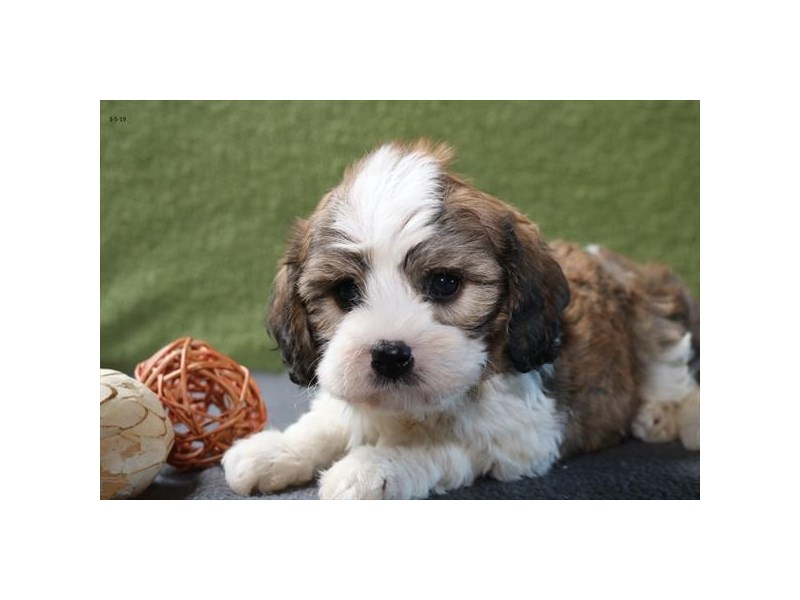 Cavachon-Male-Sable / White-2306466-The Barking Boutique