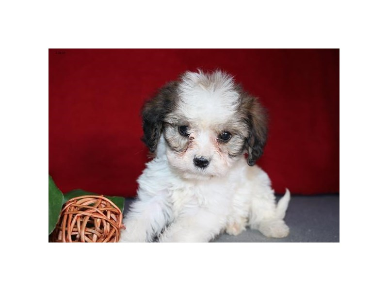 Cavachon-Female-Sable / White-2306469-The Barking Boutique