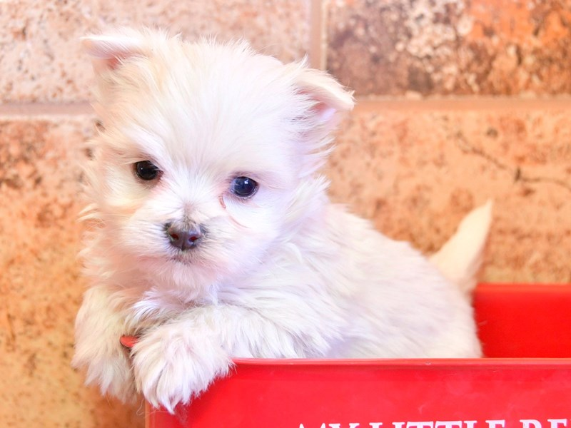 Maltese-Female-White-2306479-The Barking Boutique