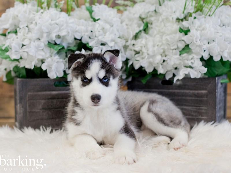 Siberian Husky – Crunch