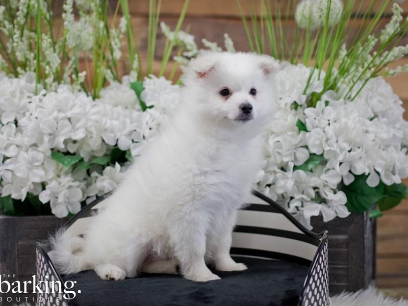 American Eskimo Dog-Female-White-2306468-The Barking Boutique