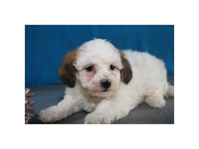 Toy Poodle/Bichon Frise-Female-White / Sable-2311520-The Barking Boutique