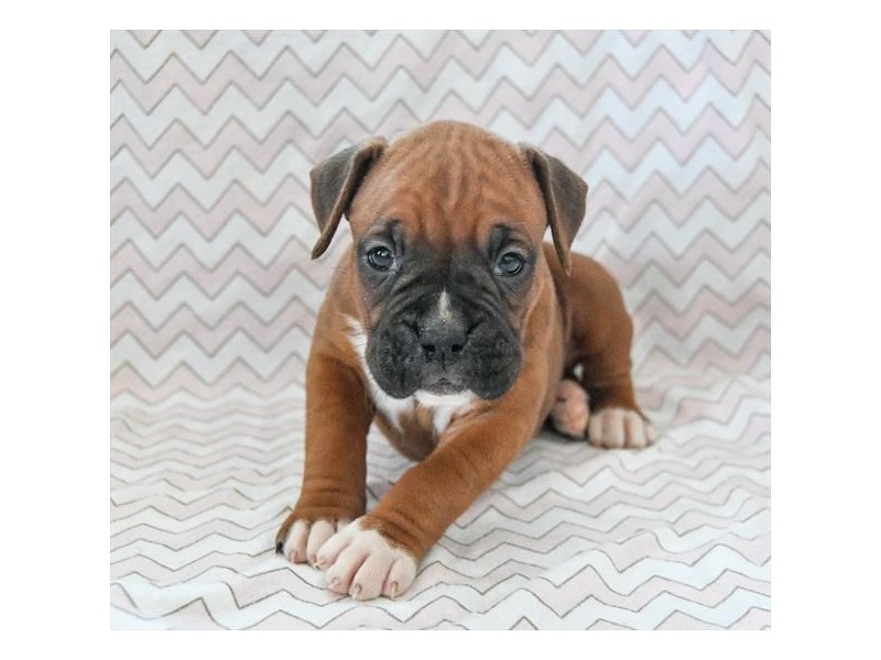 Boxer-Female-Fawn / White-2311523-The Barking Boutique