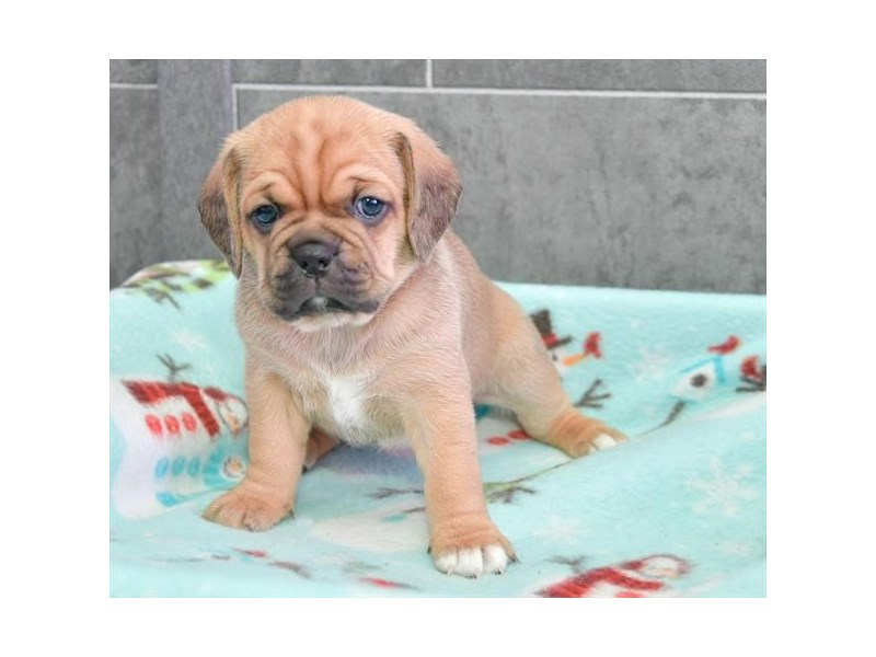 Puggle-Female-Fawn-2294631-The Barking Boutique