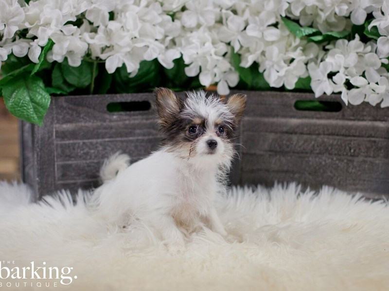 Yoranian-Female-White tricolor-2300228-The Barking Boutique