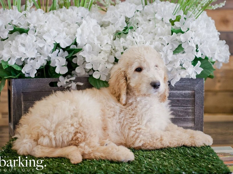 F1B Standard Goldendoodle-Male-Cream-2311527-The Barking Boutique