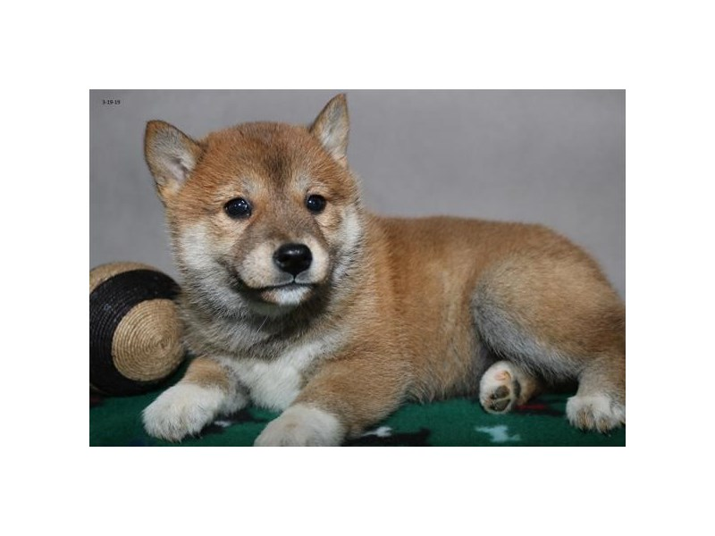 Shiba Inu-Female-Red-2317059-The Barking Boutique