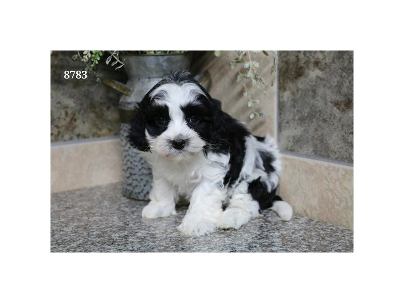 Cavapoo-Female-Black / White-2317065-The Barking Boutique