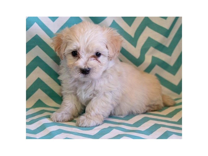 Maltipoo-Male-Fawn-2317071-The Barking Boutique