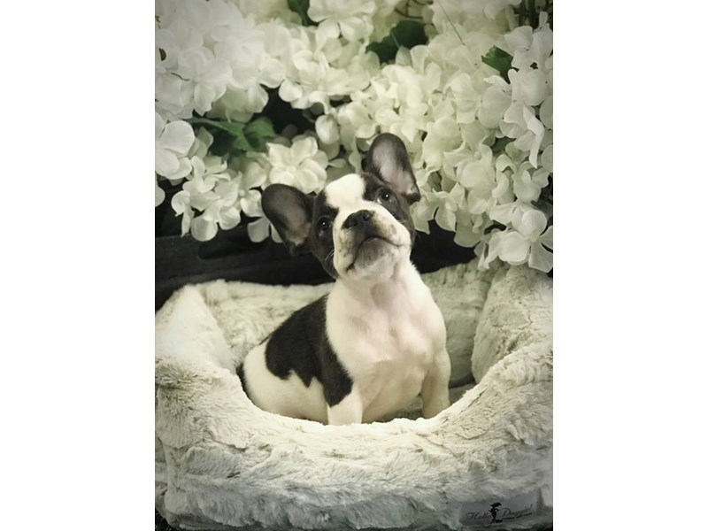 French Bulldog – Tanner