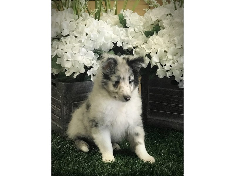 Shetland Sheepdog-Male-Blue Merle-2317057-The Barking Boutique