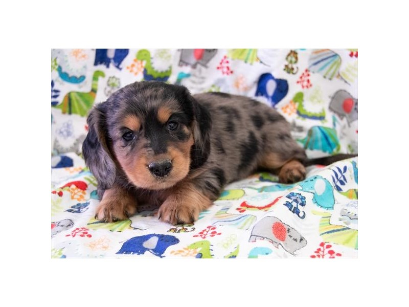 Miniature Dachshund-Male-Silver Dapple-2322345-The Barking Boutique