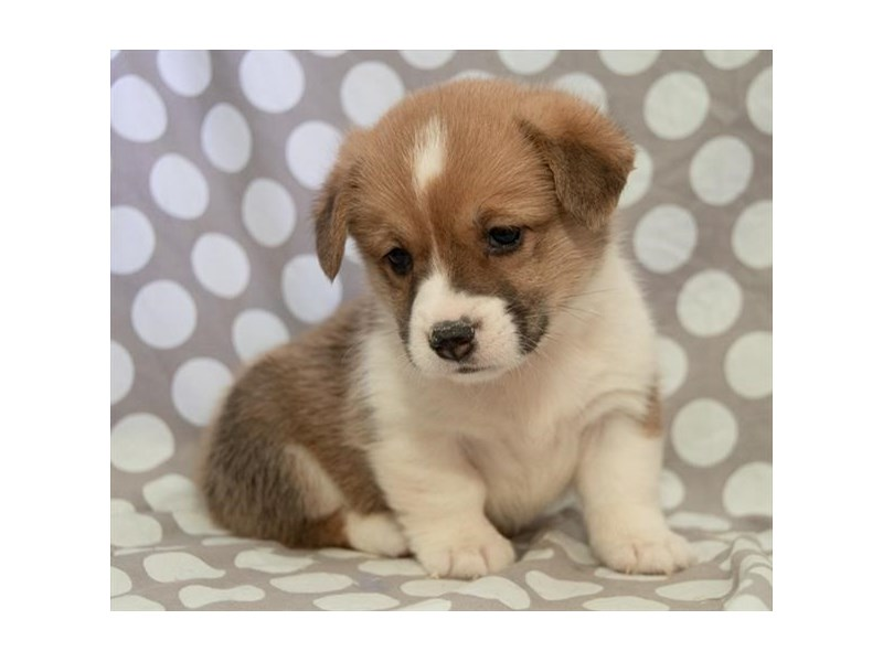 Pembroke Welsh Corgi-Male-White / Red-2322347-The Barking Boutique