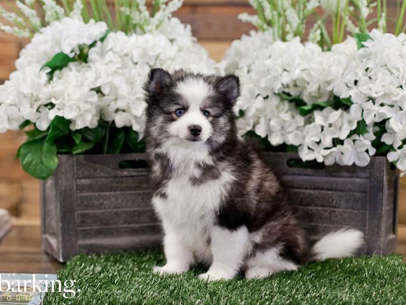 Pomsky-Male-Black / White-2322349-The Barking Boutique
