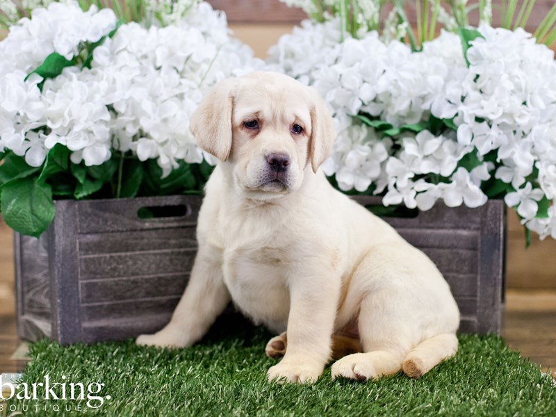 Labrador Retriever-Female-Yellow-2322360-The Barking Boutique