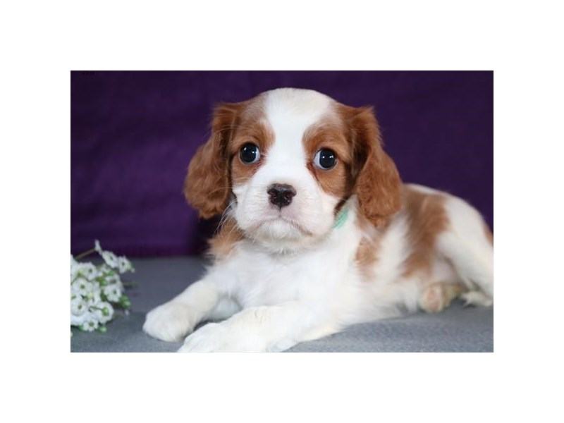 Cavalier King Charles Spaniel – Jelly Bean