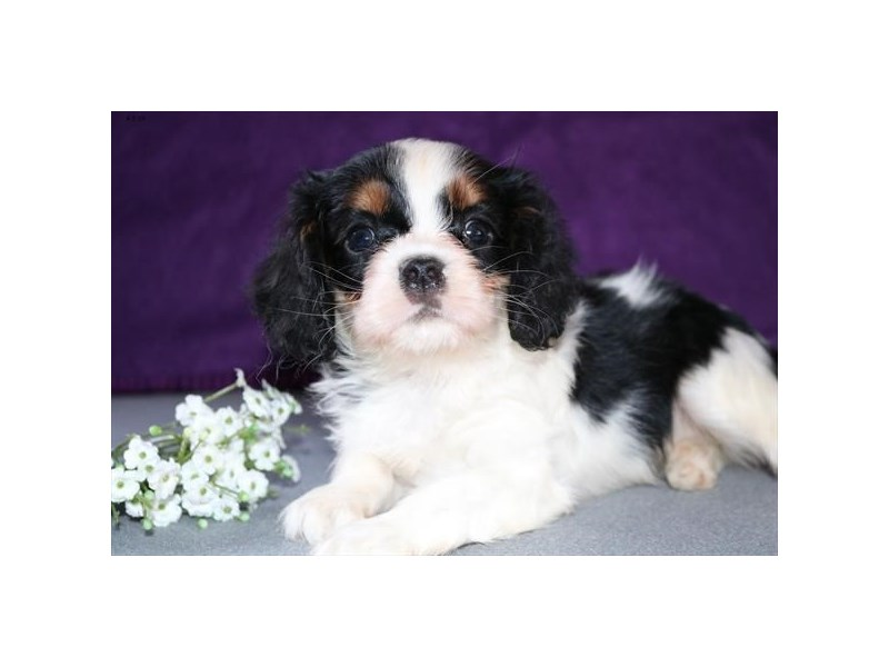 Cavalier King Charles Spaniel-Male-Black White / Tan-2327789-The Barking Boutique