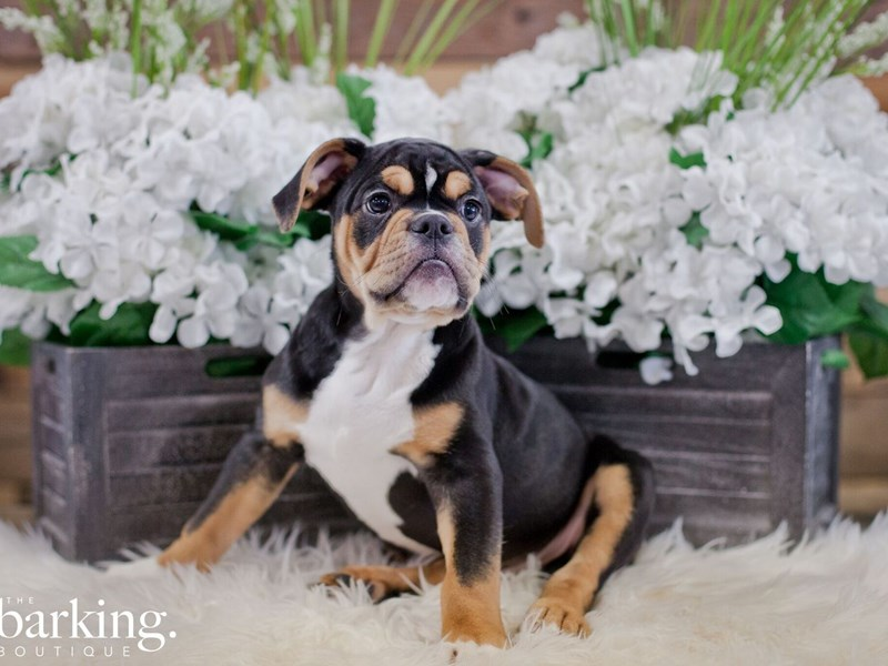 Olde English Bulldogge-Male-Black Tricolor-2323604-The Barking Boutique