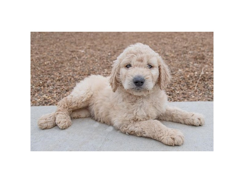 F1B Goldendoodle-Male-Cream-2333216-The Barking Boutique
