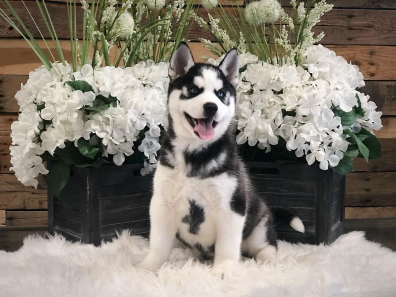 Siberian Husky – Puffin