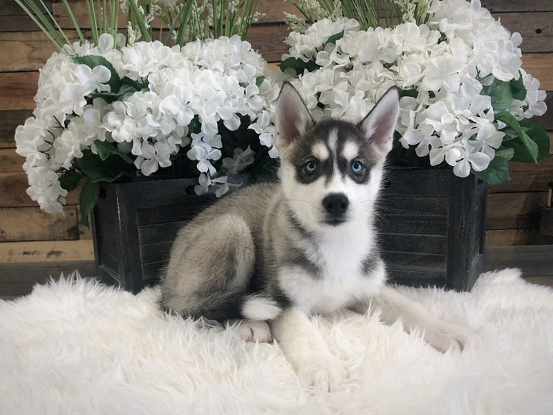 Siberian Husky-Female-Black / White-2333209-The Barking Boutique