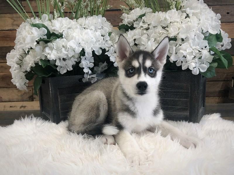 Siberian Husky – Foxy
