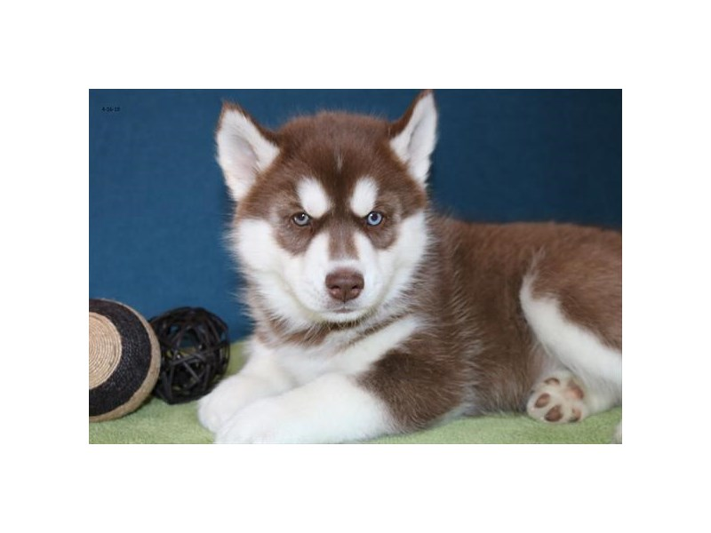 Siberian Husky – Marble
