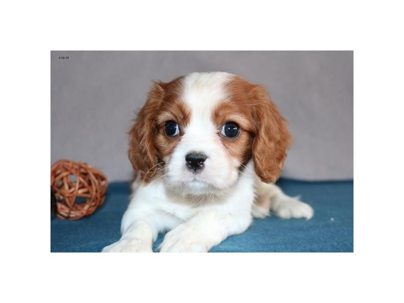 Cavalier King Charles Spaniel-Male-Blenheim-2338159-The Barking Boutique