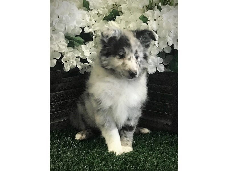 Shetland Sheepdog-Male-Blue Merle-2317056-The Barking Boutique