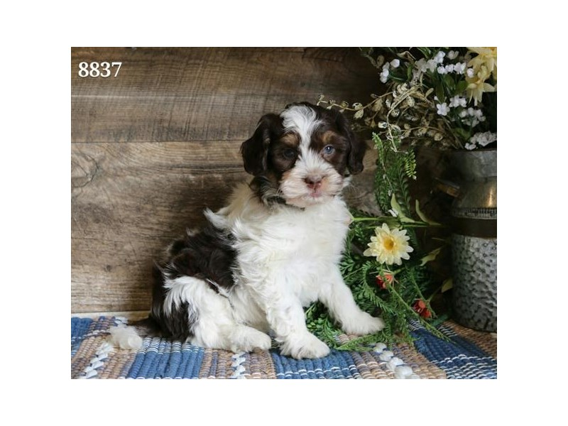 Havanese-Male-White / Chocolate-2322376-The Barking Boutique
