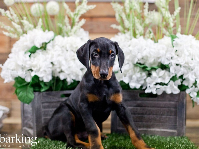 Doberman Pinscher-Male-Black / Rust-2322350-The Barking Boutique