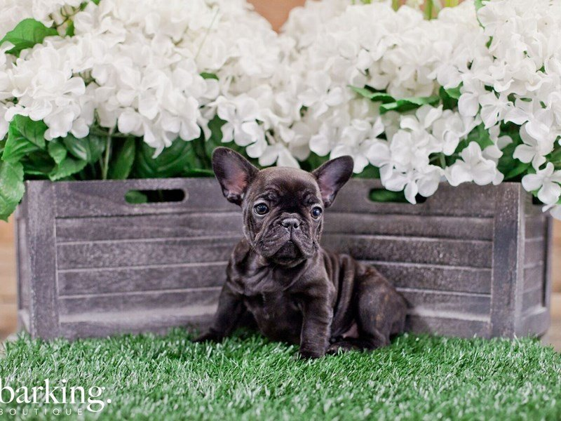 French Bulldog-Female-Brindle-2322355-The Barking Boutique