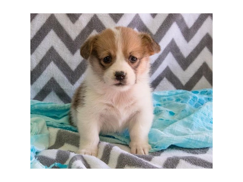 Pembroke Welsh Corgi-Male-Red / White-2327792-The Barking Boutique
