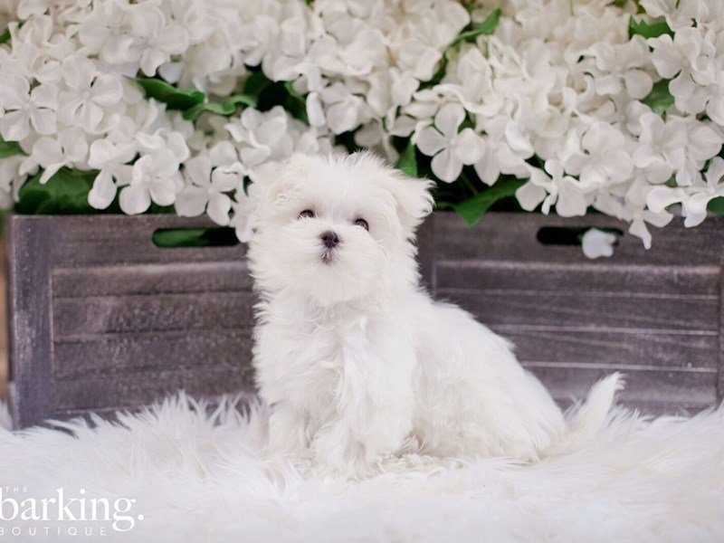 Maltese-Male-White-2327791-The Barking Boutique
