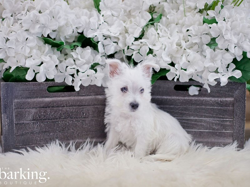West Highland White Terrier – Eggbert