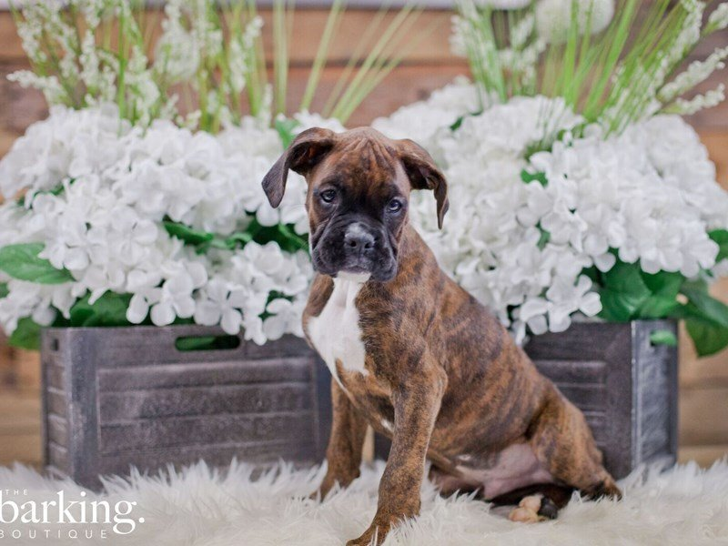 Boxer-Male-Brindle-2327794-The Barking Boutique